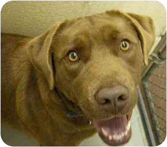 Broadway Nj Labrador Retriever Meet Bruno A Pet For Adoption
