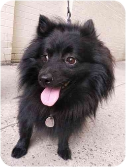 New York Ny Pomeranian Meet Buddy A Pet For Adoption