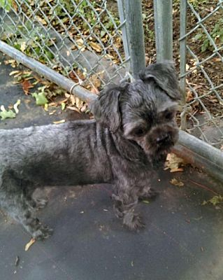 Rochester Ny Shih Tzu Meet Cooper A Dog For Adoption