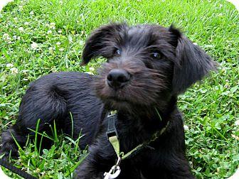 salem nh schnauzer miniature meet puppy maxaroni a