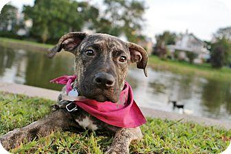 Boxer/Mastiff Mix Dog for adoption in Shrewsbury, New Jersey - **URGENT HENDRIX NEEDS FOSTER/
