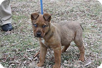 Conway Ar Siberian Husky Meet Paco A Pet For Adoption