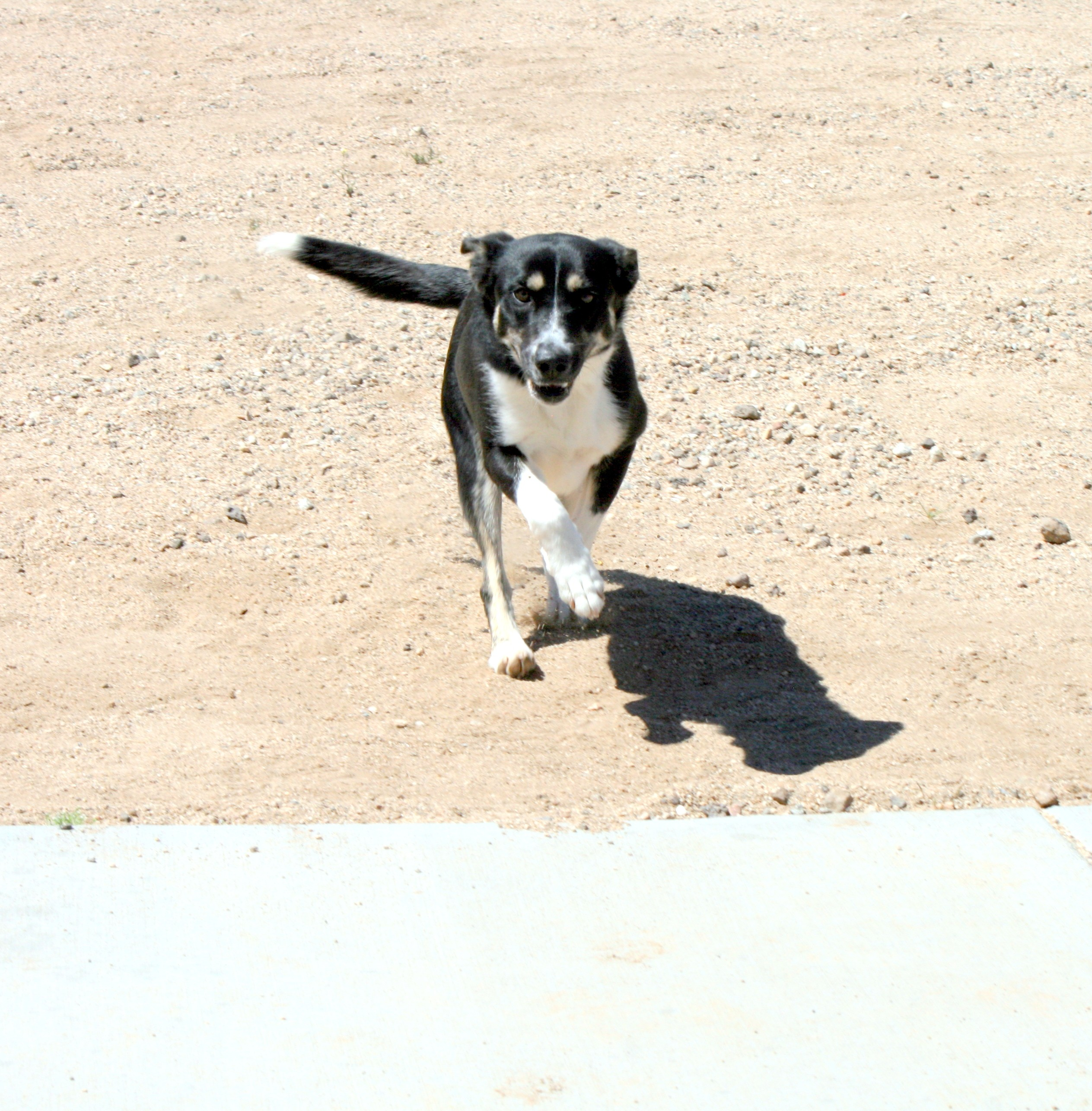 Husky puppies for sale yucca valley - Yucca Valley Ca Border Collie Meet Abby Rhea Liguria A Dog For Adoption