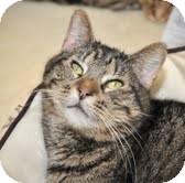 American Shorthair Cat for adoption in Horsham, Pennsylvania - Won Ton