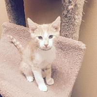 Adopt A Pet :: Simba - Chino Hills, CA