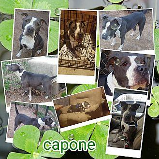 Adopt A Pet :: J Capone  - Clarksville, TN