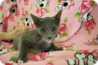Domestic Shorthair Kitten for adoption in Fountain Hills, Arizona - GREYSON