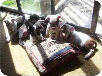 Lansing Mi American Pit Bull Terrier Meet 2 Pitbull Puppies A