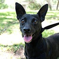 Texas Chihuahua Rescue - Hamilton Ontario in CRYSTAL BEACH