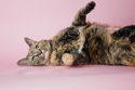 Adopt a Pet :: Kit Kat - Hendersonville, NC -  Domestic Shorthair/Domestic Shorthair Mix