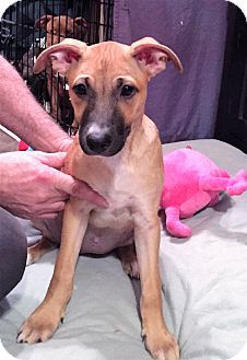Terrier (Unknown Type, Medium) Mix Puppy for adoption in Camas, Washington - Emma