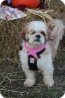 Shih Tzu Mix Dog for adoption in Hamburg, Pennsylvania - Opal