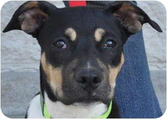 Rottweiler/Boxer Mix Dog for adoption in Atlanta, Georgia - Venus