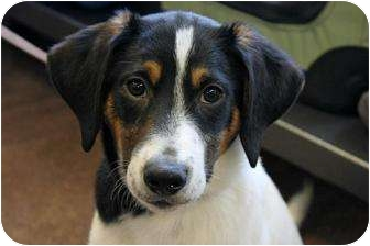 Buffalo Ny Border Collie Meet Sarge 4 Months A Pet For Adoption