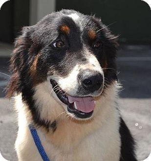 Stafford Springs, CT - Border Collie  Meet Alfie a Pet for Adoption