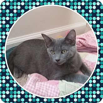 Domestic Shorthair Kitten for adoption in Cedar Springs, Michigan - Bubba