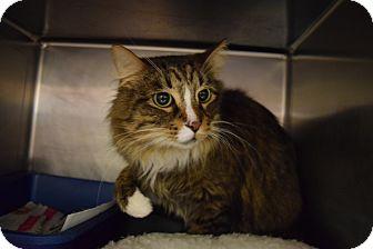 Domestic Longhair Cat for adoption in Bay Shore, New York - Sherman