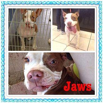 Pit Bull Terrier Mix Dog for adoption in Phoenix, Arizona - Jaws