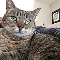 Adopt A Pet :: Chestie - Tucson, AZ