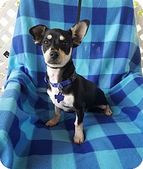 Chihuahua/Dachshund Mix Puppy for adoption in Brattleboro, Vermont - Tango