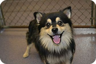 Edwardsville, IL - Finnish Lapphund. Meet Finn a Dog for ...