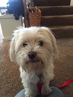 Dayton Oh Maltese Meet Mayson A Pet For Adoption