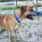Golden Retriever Puppies - Rescue and Adoption Near You