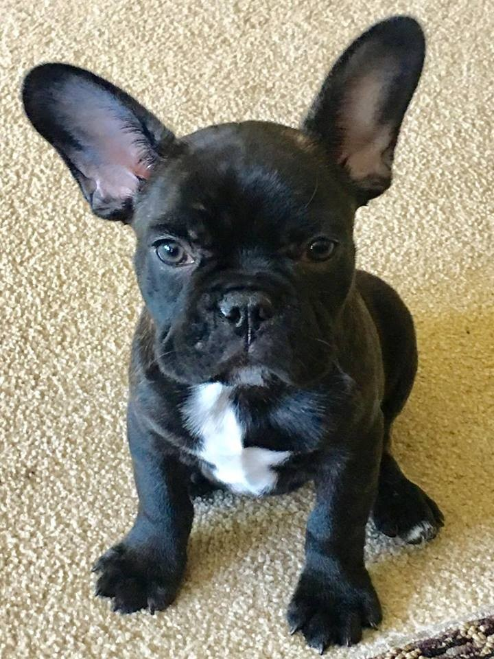 Columbus Oh French Bulldog Meet Oliver A Pet For Adoption