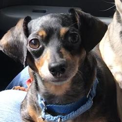 Chihuahua Puppies for Sale in Iowa - Adoptapet com