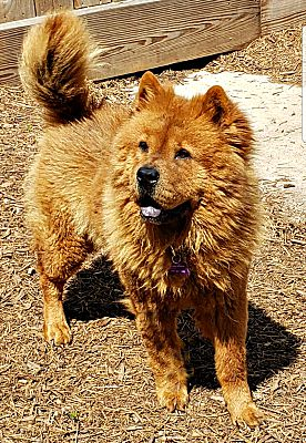Houston, TX - Chow Chow  Meet Miss Kitty a Pet for Adoption