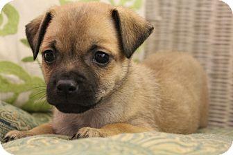 Wytheville, VA - Pug  Meet Pomona a Pet for Adoption