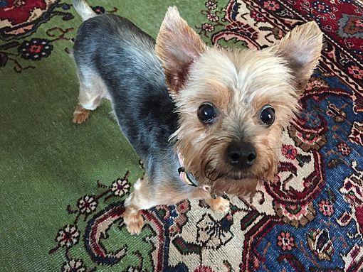 Austin Tx Yorkie Yorkshire Terrier Meet Sisi A Pet For Adoption