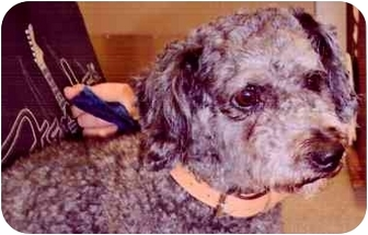 Poodle (Toy or Tea Cup) Mix Dog for adoption in Old Bridge, New Jersey - Schnook