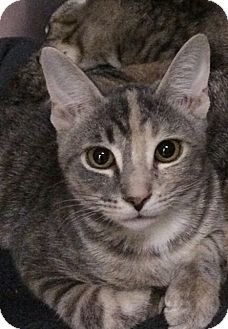 Domestic Shorthair Kitten for adoption in New York, New York - Muffin