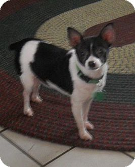 Palm Coast Fl Rat Terrier Meet Poppy Coming Soon A Pet