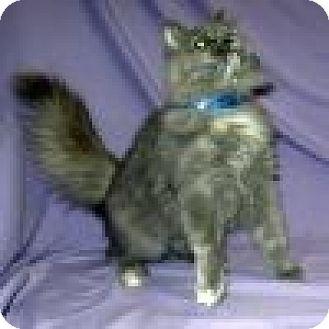 Domestic Mediumhair Cat for adoption in Powell, Ohio - Dahlia