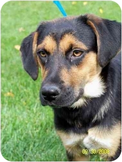 Shepherd (Unknown Type)/Beagle Mix Puppy for adoption in Plainfield, Illinois - Baxter