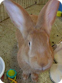 Flemish Giant for adoption in Foster, Rhode Island - Gerri