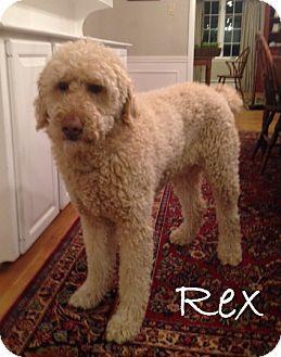 W Warwick Ri Goldendoodle Meet Sutton Ma Rex A Pet