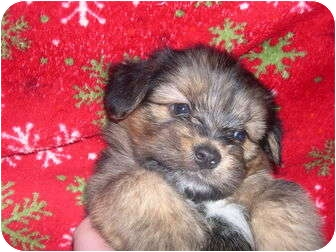 Wauseon Oh Shih Tzu Meet Teddy Bear Puppy A Pet For Adoption
