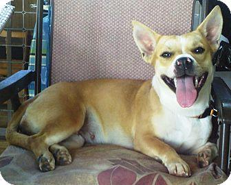 Ocala Fl Corgi Meet Maria A Pet For Adoption