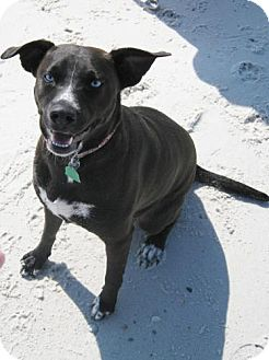 Labrador Retriever/Australian Cattle Dog Mix Dog for adoption in Port St. Joe, Florida - LADIE