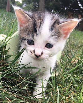 Adopt A Pet :: Bailey  - Dumfries, VA
