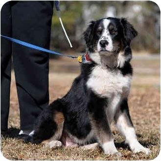 Savannah Ga Australian Shepherd Meet Franke A Pet For