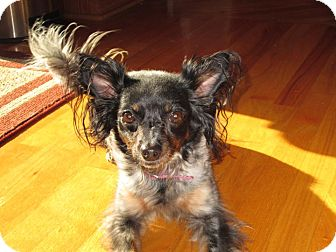 Papillon/Chihuahua Mix Dog for adoption in Plainfield, Illinois - Deeah