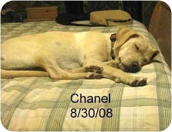 Labrador Retriever Mix Dog for adoption in Cumming, Georgia - Chanel