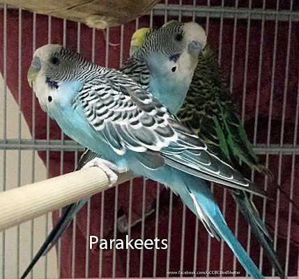 Villa Park, IL - Budgie  Meet Parakeets a Pet for Adoption
