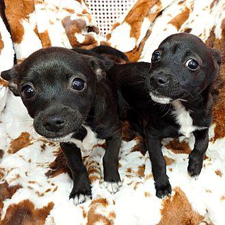 Adopt A Pet :: Whiskey Joe, adorable pup.  - Corona, CA