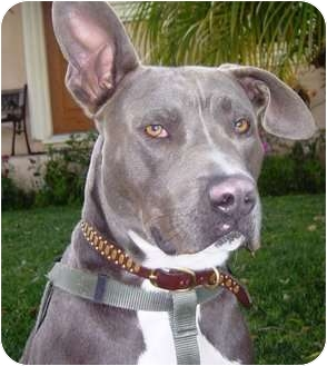 Los Angeles, CA - American Pit Bull Terrier  Meet Hunter a