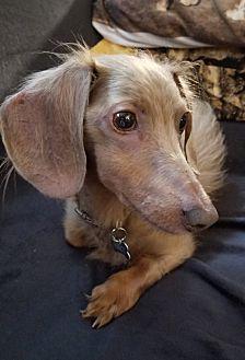 Adopt A Pet :: Percy  - Troy, MI